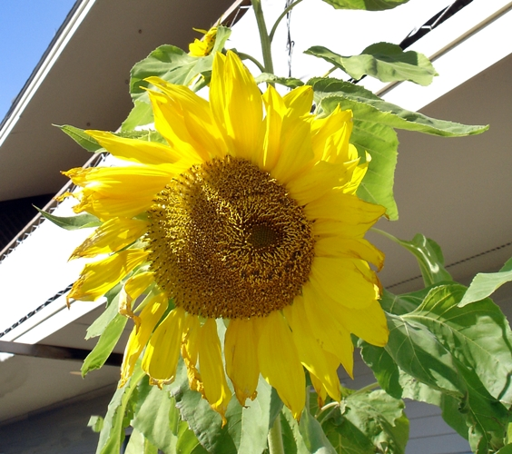 Sunflower-500