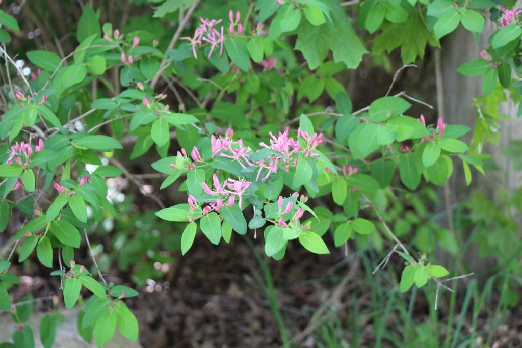 Wild Honeysuckle Bush